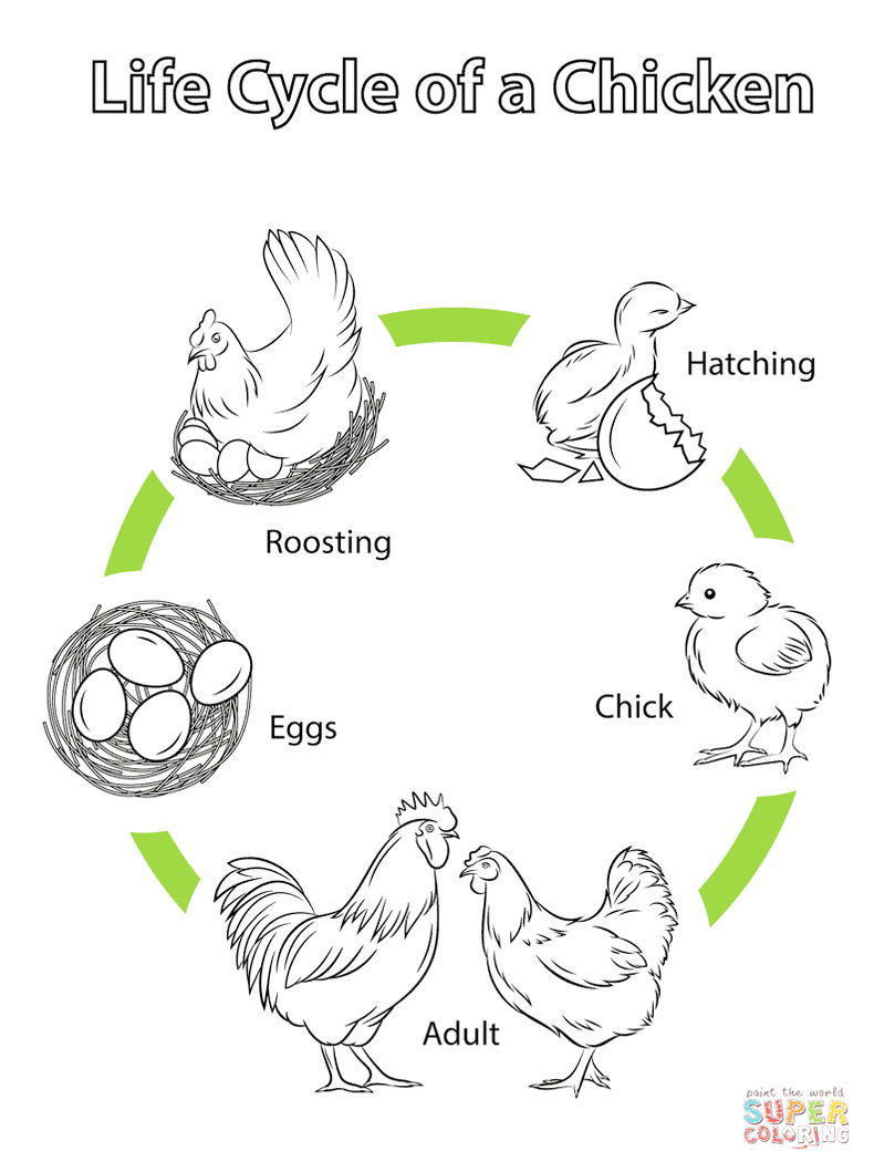 Chicken Life Cycle Coloring And Drawing