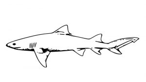 Coloring page of a shark