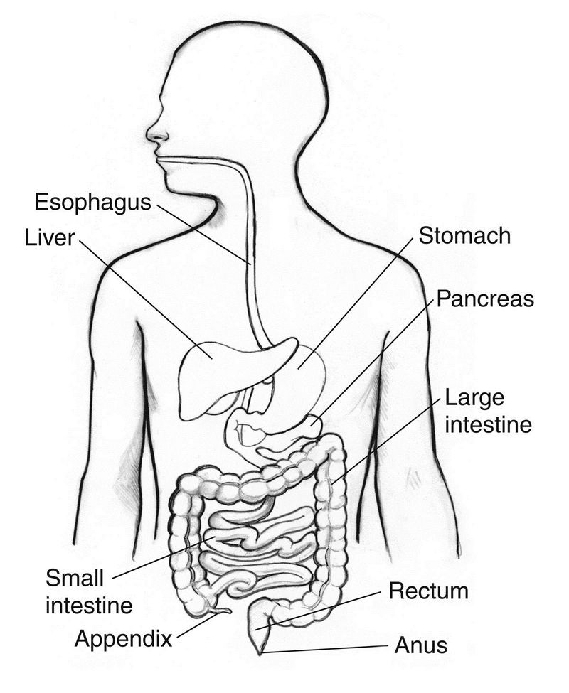 Digestive System Coloring Page Template