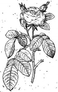 Lesroses flower coloring page