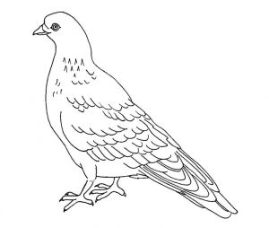 Pigeon coloring page 001