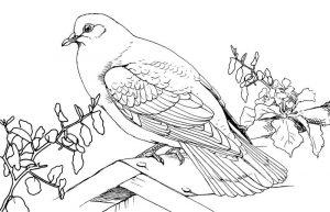 Pigeon coloring pages 001