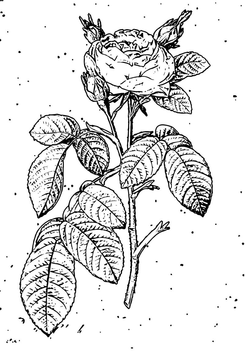 Rose Flower Coloring Page 154