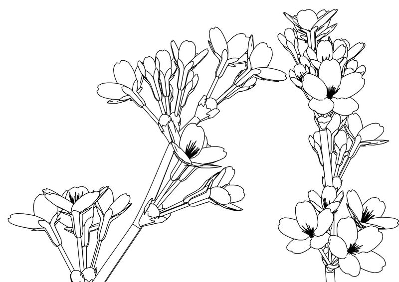 Someiyosino Flower Coloring Page
