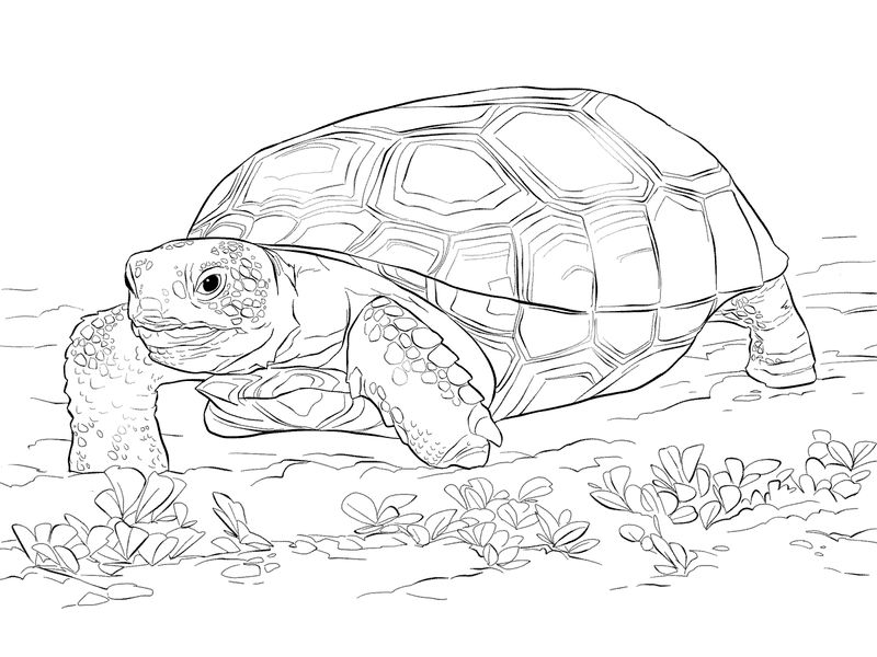 Tortise Zoo Animals Coloring Pages