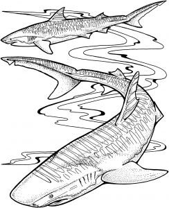 Great White Shark Coloring Pages - Fresh Tiger Shark Coloring Pages Shark Coloring Pages Coloring Ideas 5l