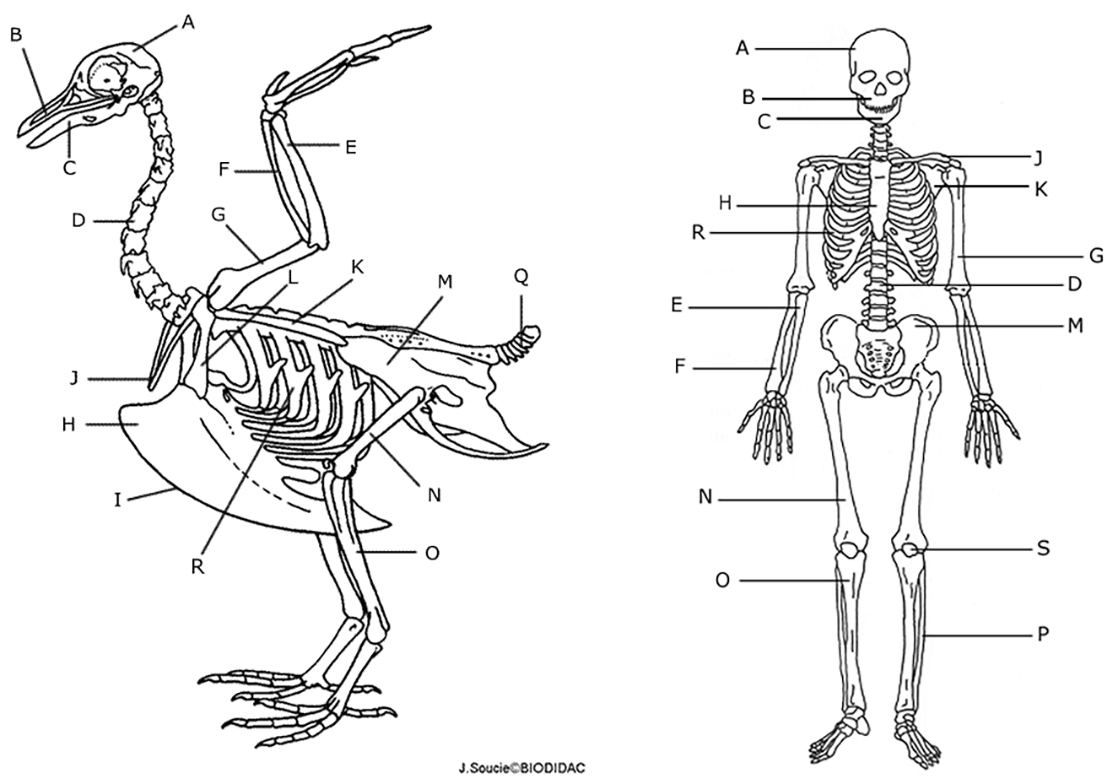 skeletal system coloring pages Collection-The longest bone in the bird s leg is the In a humans 14 Next to each letter on the HUMAN skeleton write the name of the bone 4-i