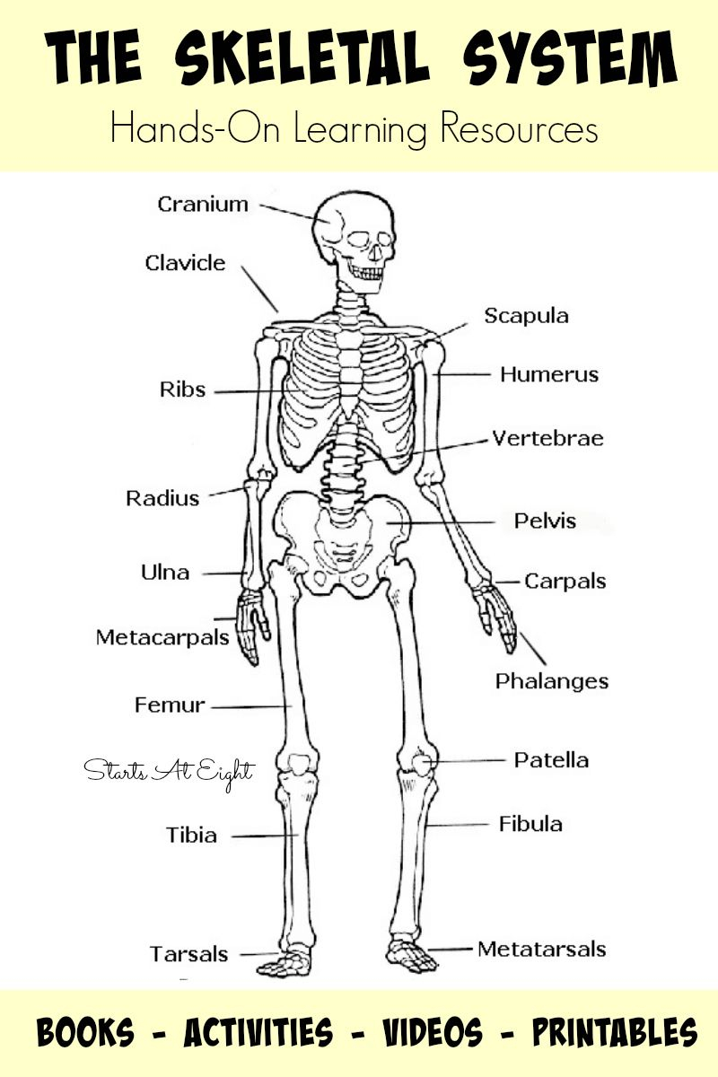 skeletal system coloring pages Download-The Skeletal System Hands Learning Resources from Starts At Eight This is list of hands on skeletal system activities books videos and printables 18-l