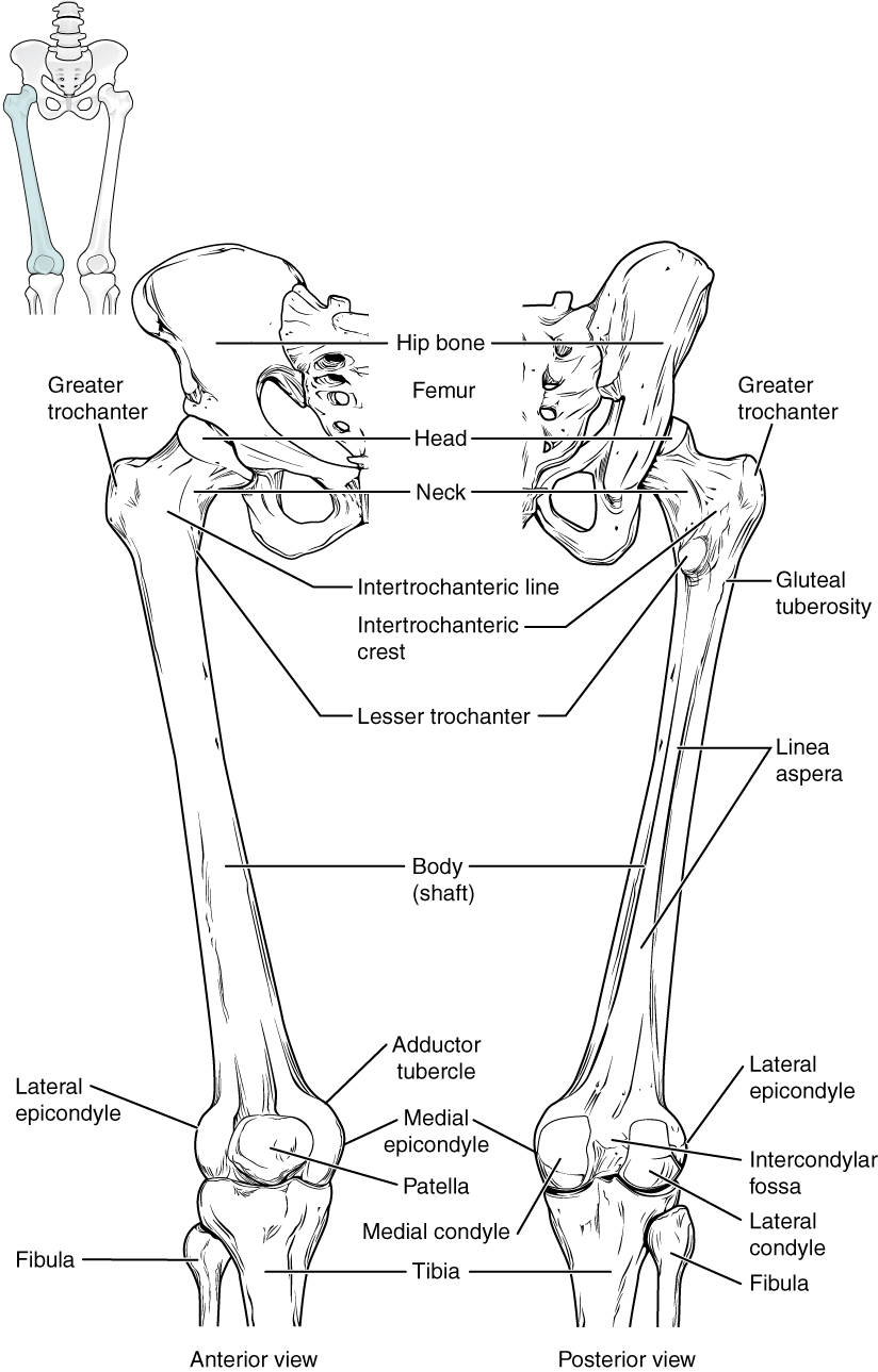 skeletal system coloring pages Download-This diagram shows the bones of the femur and the patella The left panel shows 5-i